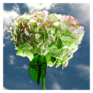 But Its Free - 10 Green Antique Hydrangea Flowers