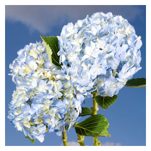 But Its Free - 10 White-Blue Hydrangea Flowers