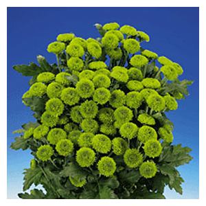 But Its Free - 36 Green Chrysanthemums Button Flowers