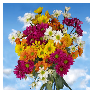 But Its Free -  36 Assorted Colors of Chrysanthemums Daisies Flowers